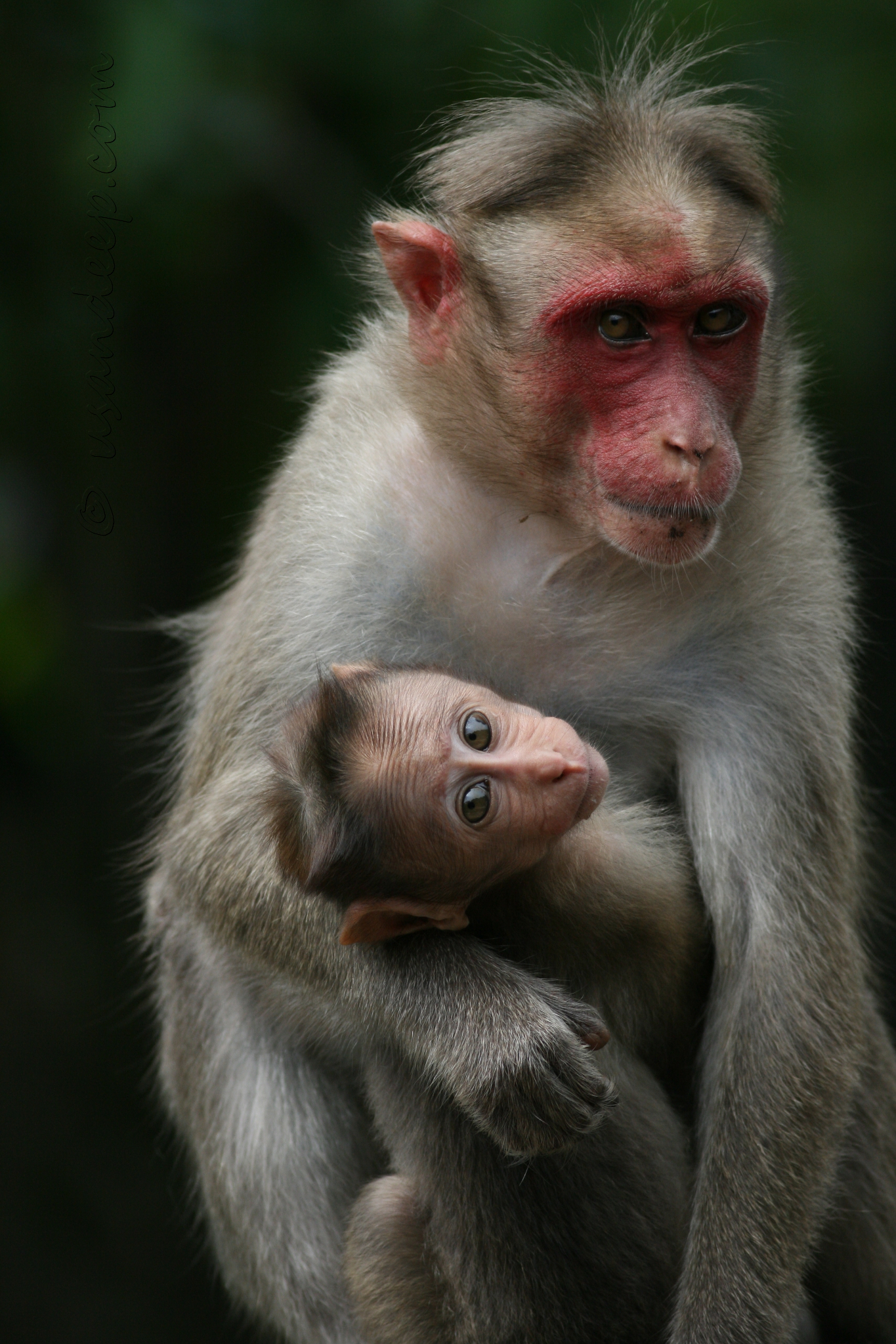 Baby monkey and mom at Lakkidi