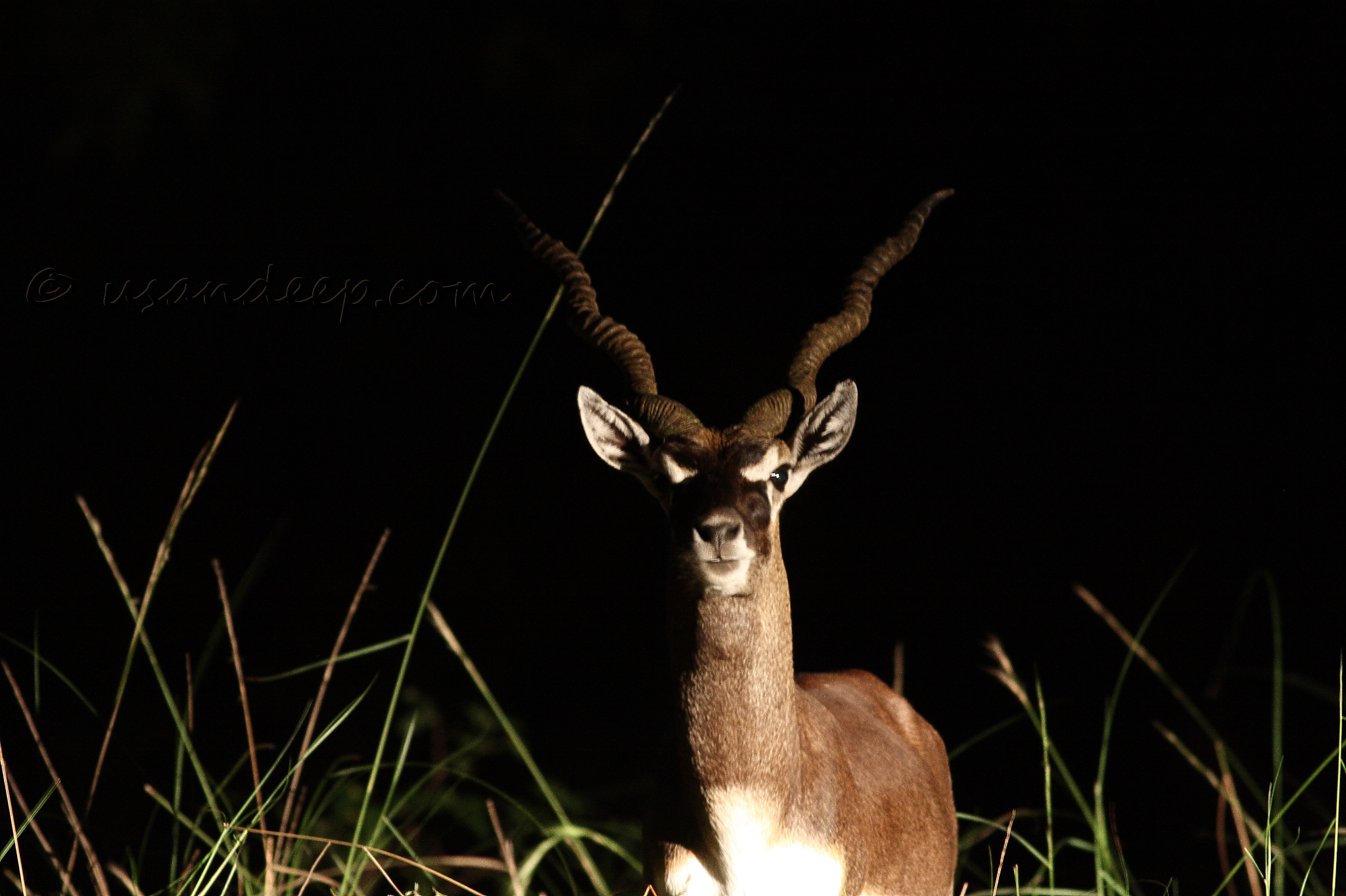 Blackbuck at Chennai IIT in night