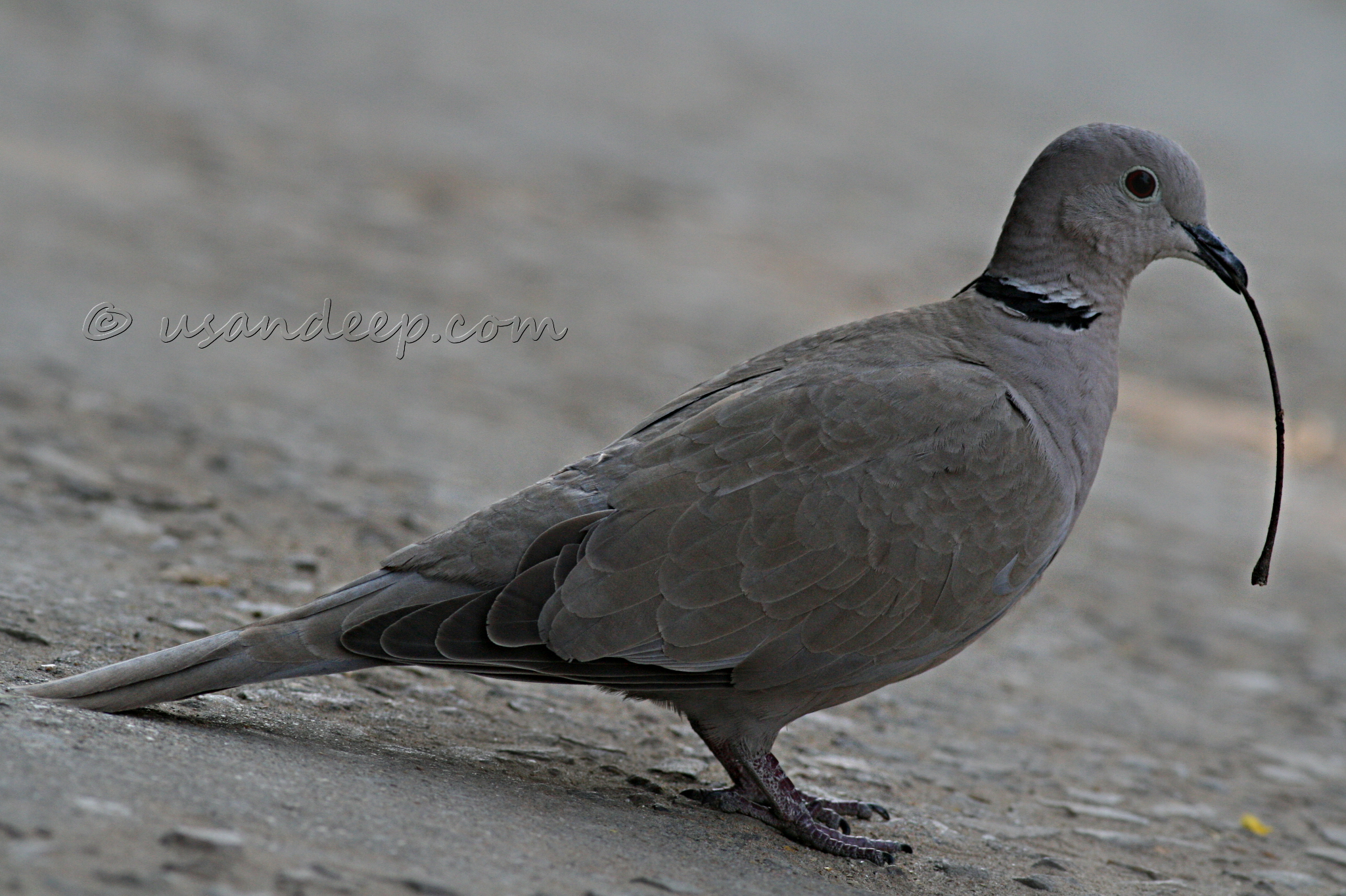 Eurasian Collared Dove at Jaipur