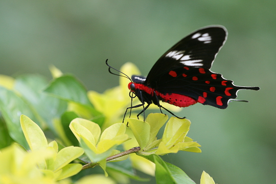 Bright Red Butterfly, Mandya