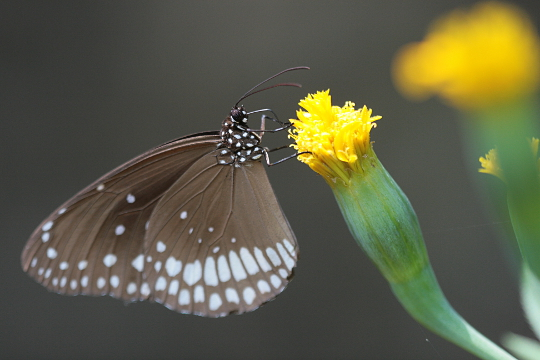 Butterfly and the Marigold