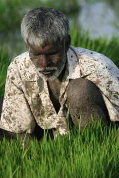 Farmer at paddy field near Mandya