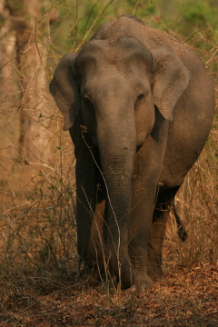 Female Elephant at Muthanga