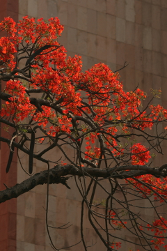 This Gulmohar will not bloom again