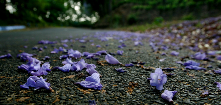 Jacaranda flowers on road