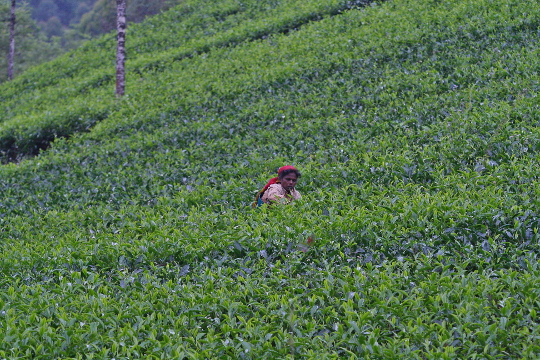 Lady at tea estate, Eravikulam
