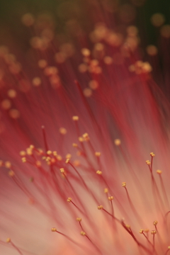 Zooming in on a Rain Tree flower