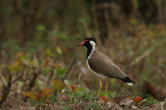 Red wattled Lapwing at Nagarhole