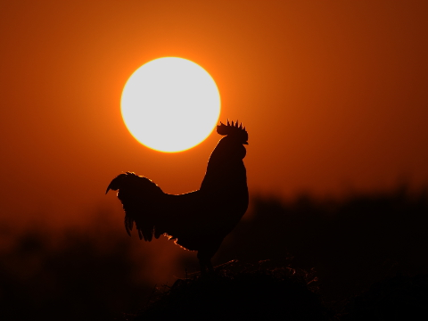 Rooster at day break