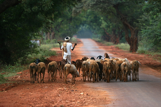 Sheeps and shepherd near Badami