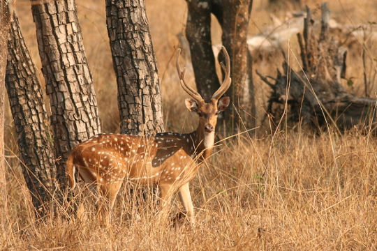 Stag Deer at Bandipur