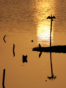 Sunset and birds at river, Eranhikkal