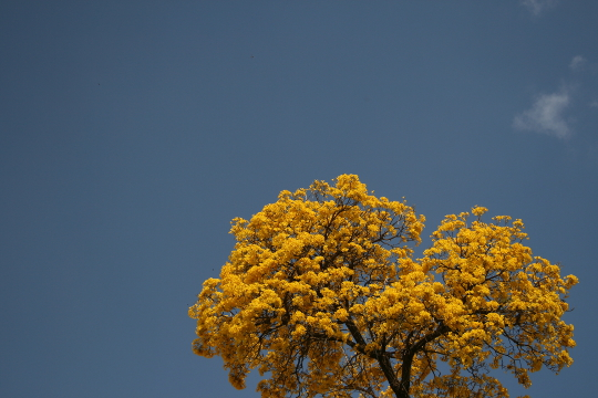 Tabebuia flowers at Bangalore