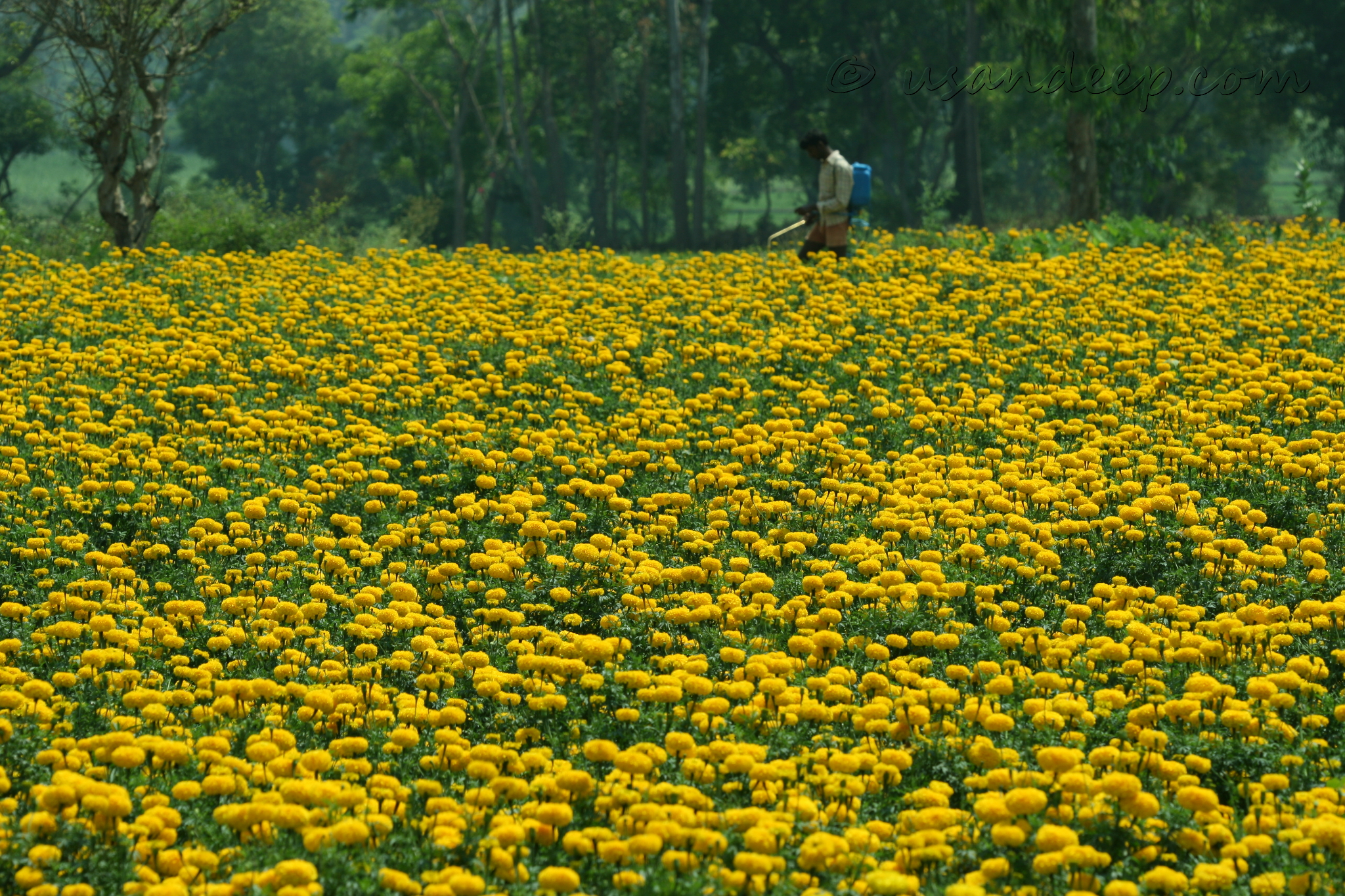 Yellow Marigold fields